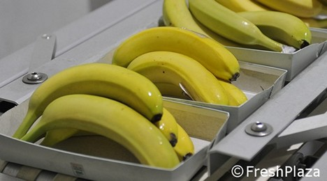 """25% growth of Algeria's banana imports, but the results are mixed"""