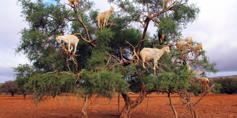 MOROCCO: The UN celebrates the Argan tree
