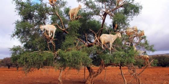 MOROCCO: The UN celebrates the Argan tree